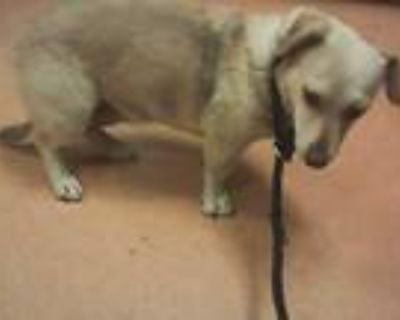 Adopt SHIRLEY a Tan/Yellow/Fawn - with Black Dachshund / Mixed dog in Martinez