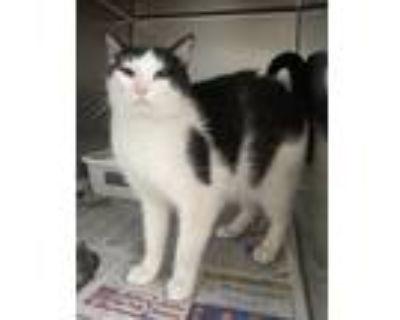 Adopt Gaia a Black & White or Tuxedo Domestic Shorthair (short coat) cat in