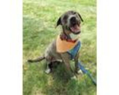 Adopt Cain a Brindle Plott Hound / Labrador Retriever dog in Norristown