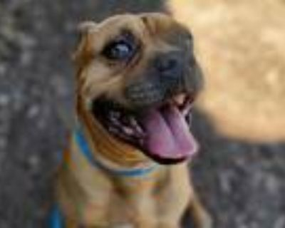 Adopt *FRANKIE a Brown/Chocolate - with Black Boxer / Mixed dog in San Jose