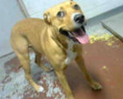 Adopt DAISY DUKE a Tan/Yellow/Fawn - with White Labrador Retriever / Mixed dog