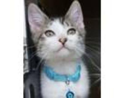 Adopt Diego -$25 a American Shorthair, Domestic Short Hair