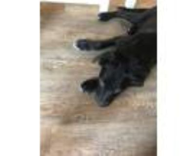 Adopt Joy a Black - with White Labrador Retriever dog in Colorado Springs