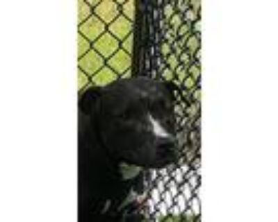 Blackie, Pit Bull Terrier For Adoption In Lafayette, Louisiana