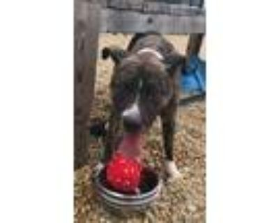 Adopt Manny a Brindle American Pit Bull Terrier / Mixed dog in Chesapeake