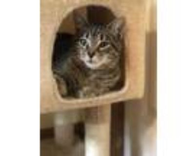 Adopt Lizzy (In Foster) a Brown or Chocolate Domestic Shorthair / Domestic