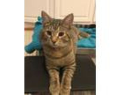 Adopt Speckle's Kitten: Ogee a Domestic Short Hair