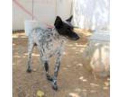 Adopt Jordan a Australian Cattle Dog / Blue Heeler