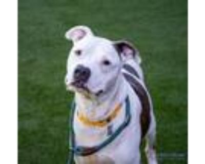 Adopt Jax a Brown/Chocolate American Pit Bull Terrier / Mixed dog in Hamilton