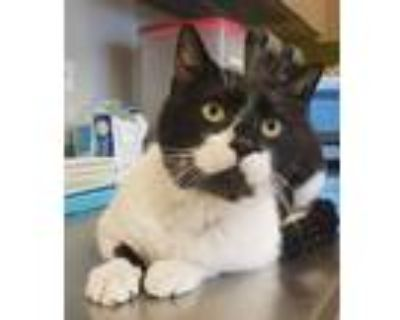 Adopt Hank a All Black Domestic Shorthair / Domestic Shorthair / Mixed cat in