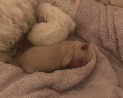 2 Male Maltese Poodle Mix Puppies DOB 1/22/21