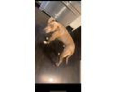 Adopt Buster a Red/Golden/Orange/Chestnut American Pit Bull Terrier / Mixed dog