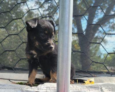 female chorkie puppy