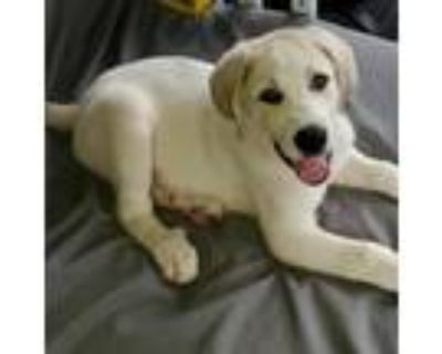 Adopt Preston a White - with Tan, Yellow or Fawn Great Pyrenees / Mixed dog in