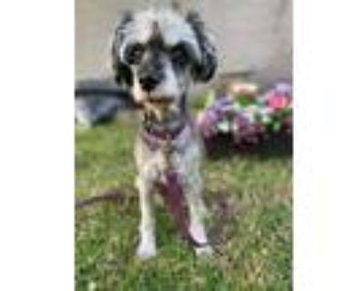 Adopt Daisy a Gray/Blue/Silver/Salt & Pepper Miniature Schnauzer / Mixed dog in