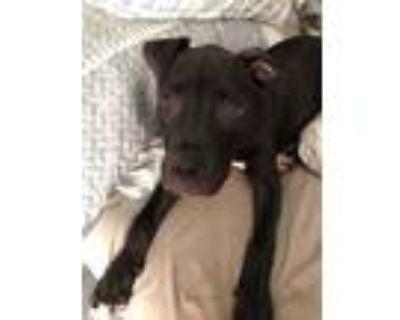 Adopt Dino a Black Labrador Retriever, Pit Bull Terrier