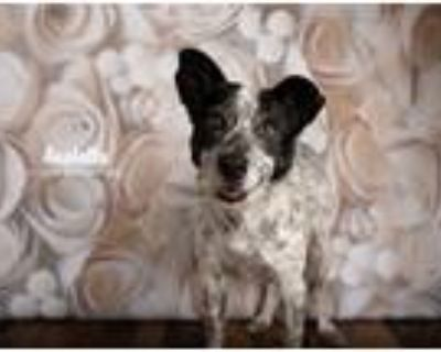 Adopt Anabella a Black - with White Blue Heeler dog in Littleton, CO (30472504)