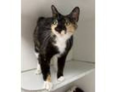 Adopt Slinky a Calico or Dilute Calico Domestic Shorthair (short coat) cat in