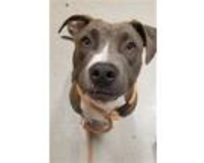 Adopt PETUNIA a Gray/Silver/Salt & Pepper - with White American Pit Bull Terrier