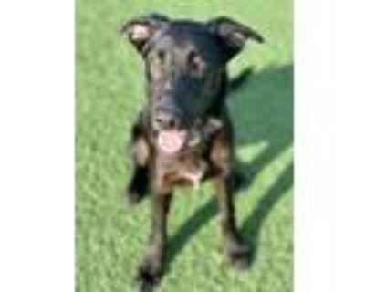 Adopt Dexter a Black Labrador Retriever