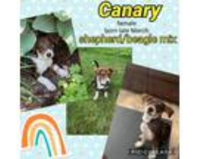 Adopt Canary a Brown/Chocolate - with White Shepherd (Unknown Type) / Mixed dog