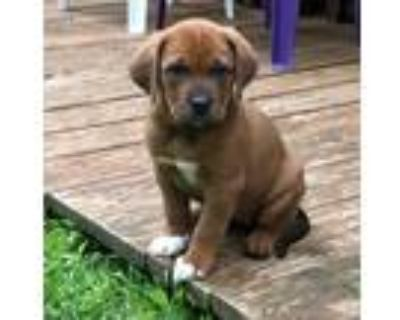 Adopt Jessica a Tan/Yellow/Fawn - with Black Labrador Retriever / Hound (Unknown