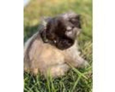 Adopt Teddy a Shih Tzu, Pug