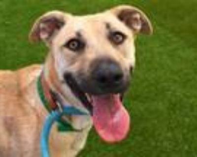 Adopt FAITH a Labrador Retriever, Mixed Breed
