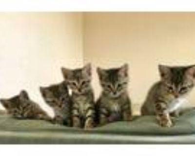 Adopt Raj a Brown or Chocolate Bengal / Mixed cat in San Antonio, TX (31279638)