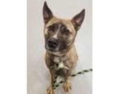 Adopt TWINKLE TOES a Tan/Yellow/Fawn - with Black German Shepherd Dog / Mixed