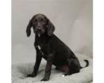 Adopt A429448 a Labrador Retriever, Hound