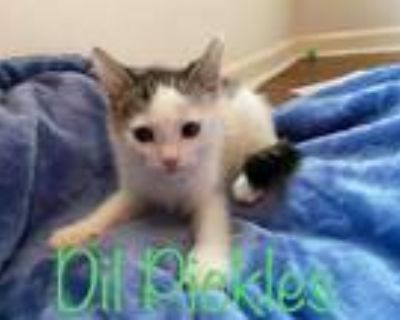 Adopt DIL a White (Mostly) Domestic Shorthair / Mixed (short coat) cat in