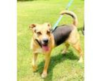 Adopt Chase a Rhodesian Ridgeback, German Shepherd Dog
