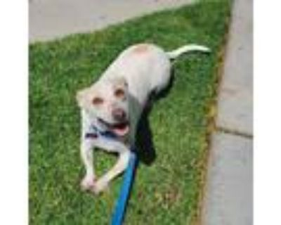Adopt Steve a White - with Tan, Yellow or Fawn Terrier (Unknown Type
