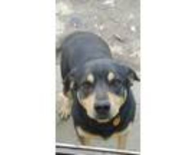 Adopt Rey a Black - with Tan, Yellow or Fawn Schiller Hound / Rottweiler / Mixed