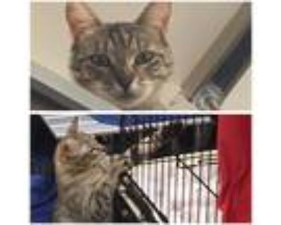Adopt Goldie a Gray, Blue or Silver Tabby Domestic Shorthair (short coat) cat in