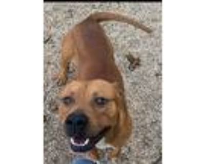Byron, American Pit Bull Terrier For Adoption In Rayne, Louisiana
