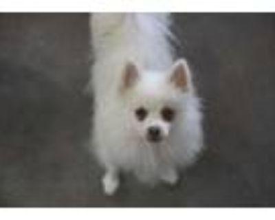 Adopt Anna a White Pomeranian / Mixed dog in Colorado Springs, CO (31869978)