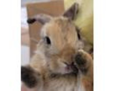 Adopt CHLOE a Blond/Golden Other/Unknown / Mixed (short coat) rabbit in Tucson