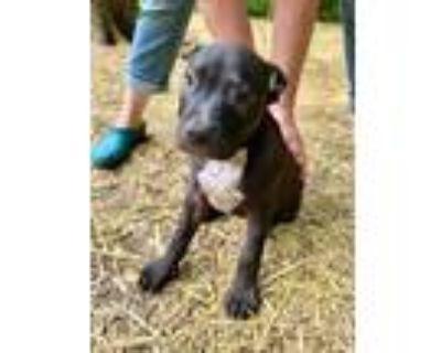 Adopt Domino a Retriever, Terrier