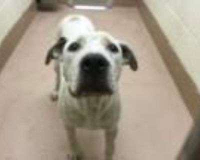 Adopt Dog a White - with Black American Pit Bull Terrier / Mixed dog in Thousand