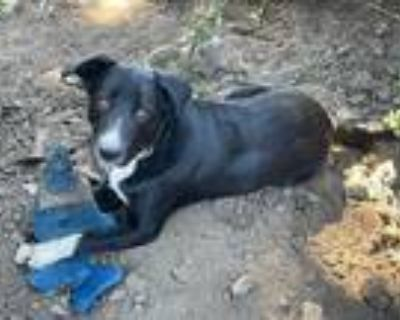 Adopt Nero a Black - with White Border Collie / Border Collie / Mixed dog in