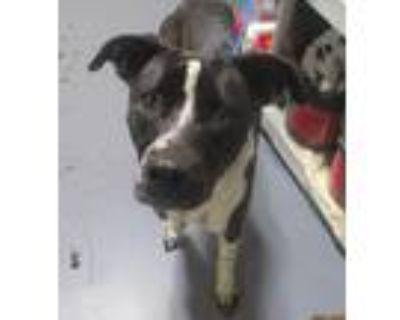 Adopt 21-06-1421 Piper a Labrador Retriever / Mixed dog in Dallas, GA (31506066)