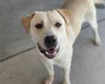 Adopt GANDOLF a Tan/Yellow/Fawn Labrador Retriever / Mixed dog in Albuquerque