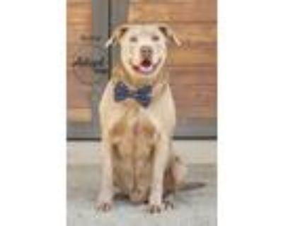 Adopt Bubba a Tan/Yellow/Fawn Labrador Retriever / Staffordshire Bull Terrier /