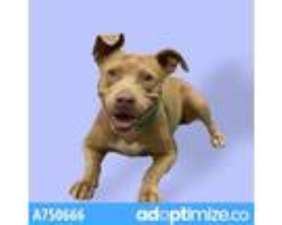 Adopt FAWN* a Brown/Chocolate American Pit Bull Terrier / Mixed dog in Tucson