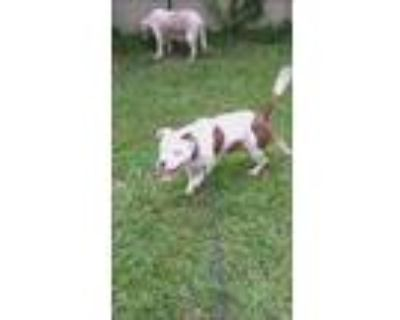 Adopt Ciego a White - with Brown or Chocolate American Staffordshire Terrier /