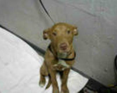 Adopt GEORGIA a Tan/Yellow/Fawn Labrador Retriever / Mixed dog in Atlanta