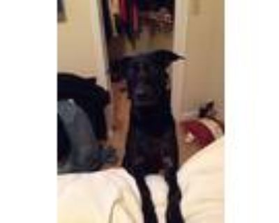 Adopt Dizzy a Black Labrador Retriever / Mixed dog in Lilburn, GA (31952364)