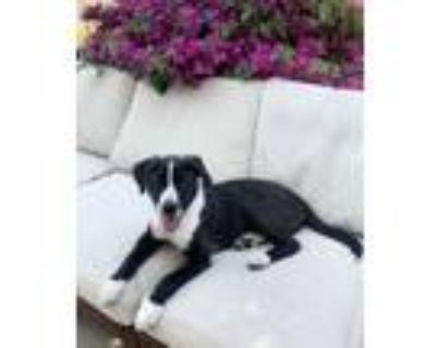Adopt Freddy a Australian Cattle Dog / Blue Heeler